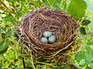 a blackbird eggs in a bird's nest