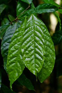 Cocoa leafs in the nature
