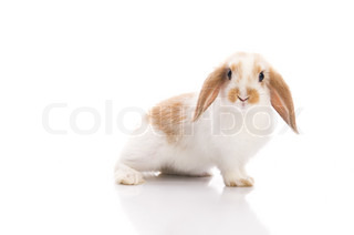 white and brown rabbit, photographed in the studio, isolated on white background
