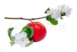Red apple on branch