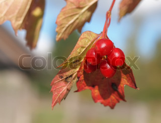 Cluster red guelder-rose berries