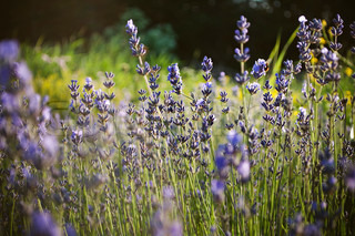 Beautiful detail of a lavender field in sunset Useful file for your brochure,flyer site about gardening, spa, traditional medicine and cosmetic products