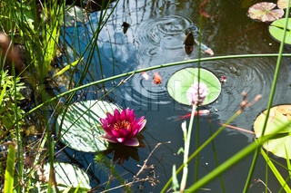Garden pond with lily flower and Kois