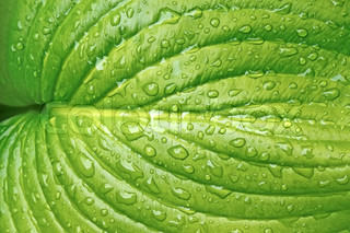 Big leaf with water drops