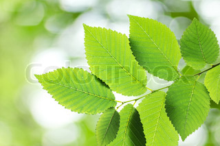 Beautiful green elm leaves