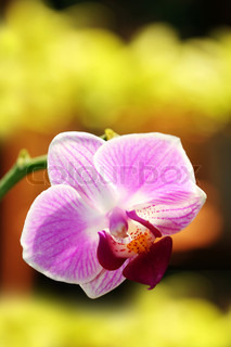Exotic phalaenopsis orchid glowing in sunlight