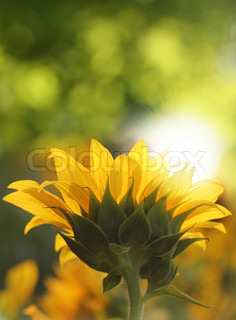 Pretty sunflower facing sun & shining in sunlight