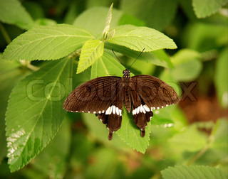 Swallowtail Butterfly from Japan