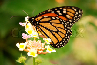 North American Monarch Pollinating a Flower