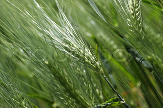 Wheat are the leading source or vegetable protein in human food