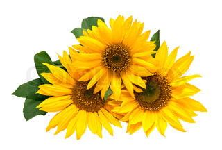 Sunflowers, isolated on a white background.