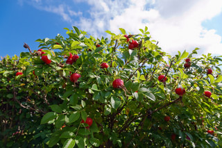 Bush of dog Rose with ripe fruits against blue sky