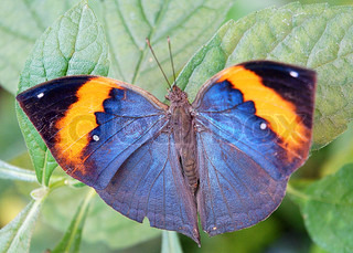 Close-Up of a Leaf Butterfly / Opened Kallima Inachus