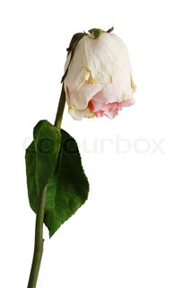 Wilted rose of pale pink color with one leaf