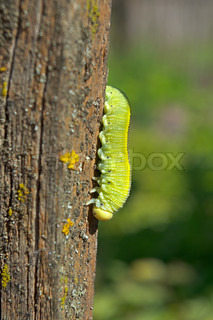 image of worm green caterpillar
