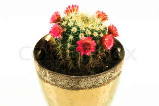 Tiny cactus with red flowers