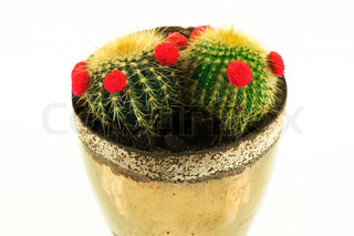 Small baby cactus in a pot
