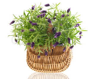 beautiful lavender plant in basket on white background studio shot
