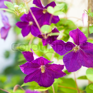 Beautiful flowers on bokeh background. Clematis