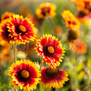 Beautiful red flowers. Gaillardia pulchella Blanket flower