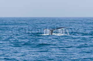 Humpback whale fluking tail in the Pacific ocean