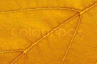 Natural background texture of yellow autumn leaf