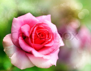 Pretty pink rose inmy garden, natural backgrounds