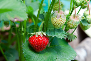 Closeup of fresh organic strawberries growing on the vine