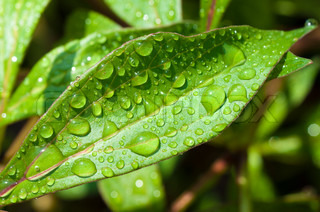 wall-paper with rain drops on a green leaf