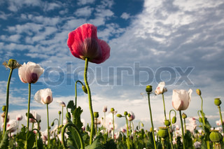 Red and white poppy on blue sky background