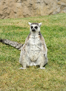 Madagascar's ring-tailed lemur sitting in funny pose on the grass.