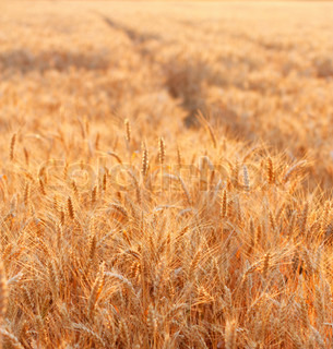 Golden wheat field in the evening