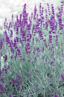 fresh lavender plants outdoors in summer selective focus