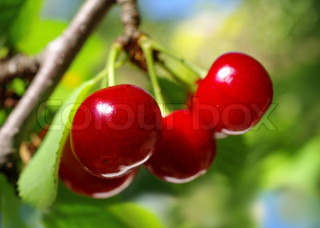 ripe, red cherries hanging on the tree horizontal