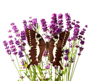 brown butterfly with fresh lavender flowers