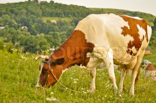 Lovely brown and white cow grazing in a beautiful green meadow