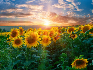 Summer landscape with sunflowers field