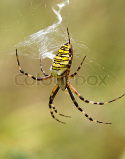 Striped yellow spider on a web