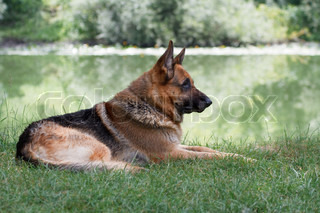 German Shepherd sitting by the lake