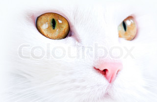 White cat with yellow eyes closeup portrait