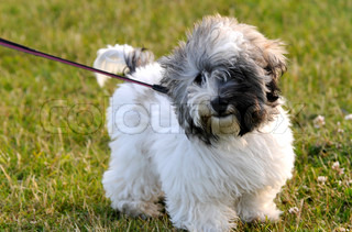 Image of 'coton de tulear, black, puppy'
