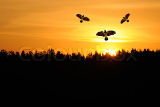 Hooded Crows Flying in the Sky at Sunset