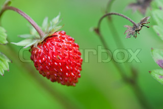 Closeup of ripe wild strawberry hanging on stem on a meadow