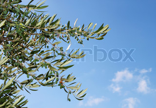 Olive tree branch against blue sky