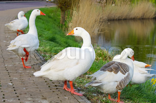 Geese on the waterfront in the Dutch town of Gorinchem Earlymorning Netherlands