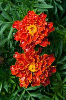 two marigold flowers