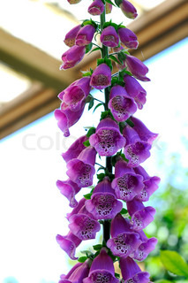digitalis, ancient medicinal plant