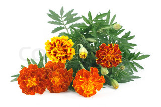 marigold flower isolated on white background