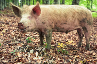 Funny pig in the wild forest