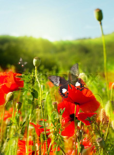The red poppies on green field, a summer butterfly